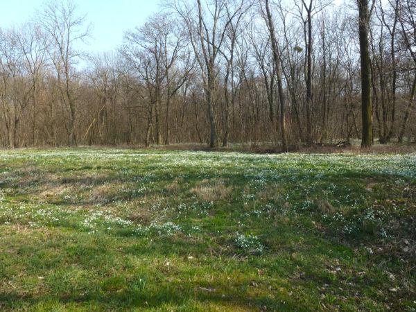 Lúka celá posiata rozkvitnutými snežienkami