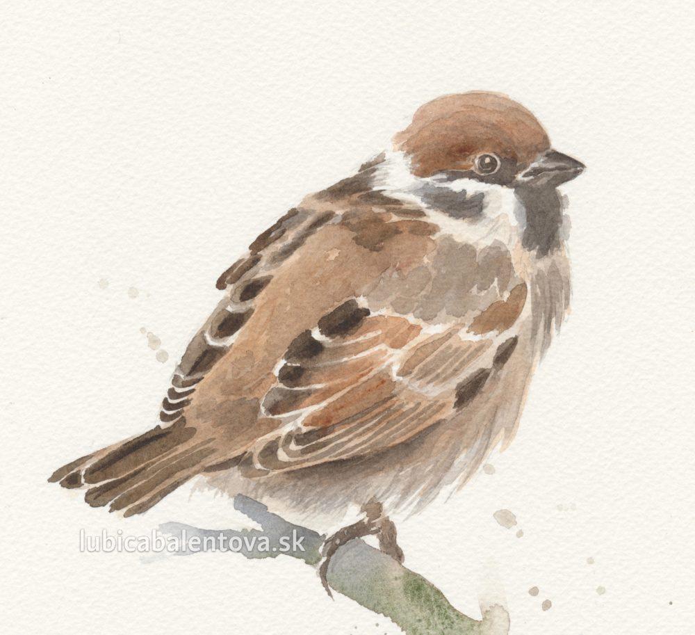 Vrabec - akvarelový obrázok